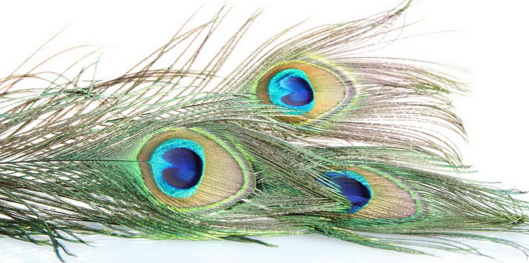 peacock feathersr